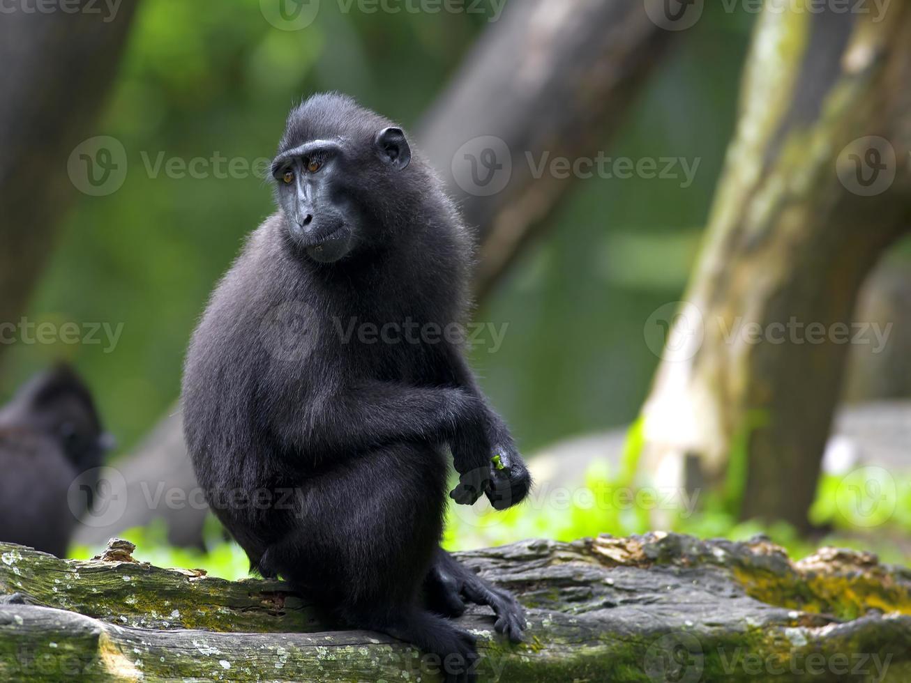 schwarzer Makaken mit Haube foto