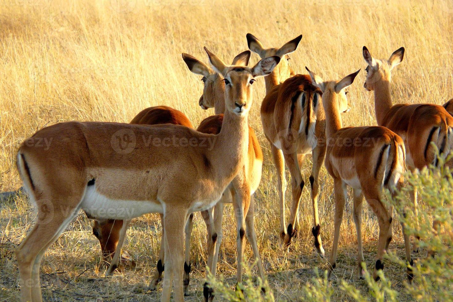 Impalas im Okavango-Delta, Moremi-Kreuzung, Botswana, Afrika. foto