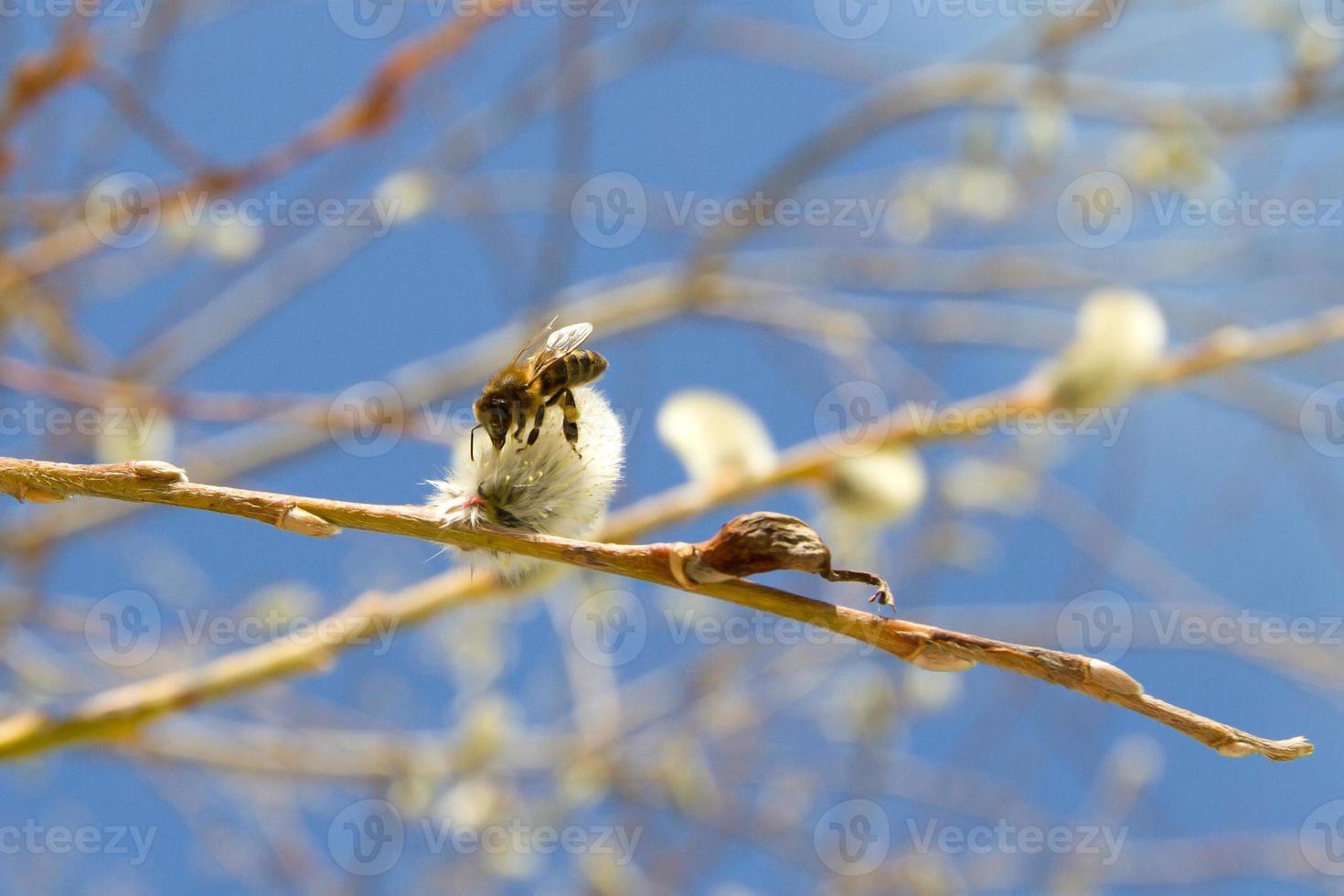 Biene auf einem Zweig einer Weide foto