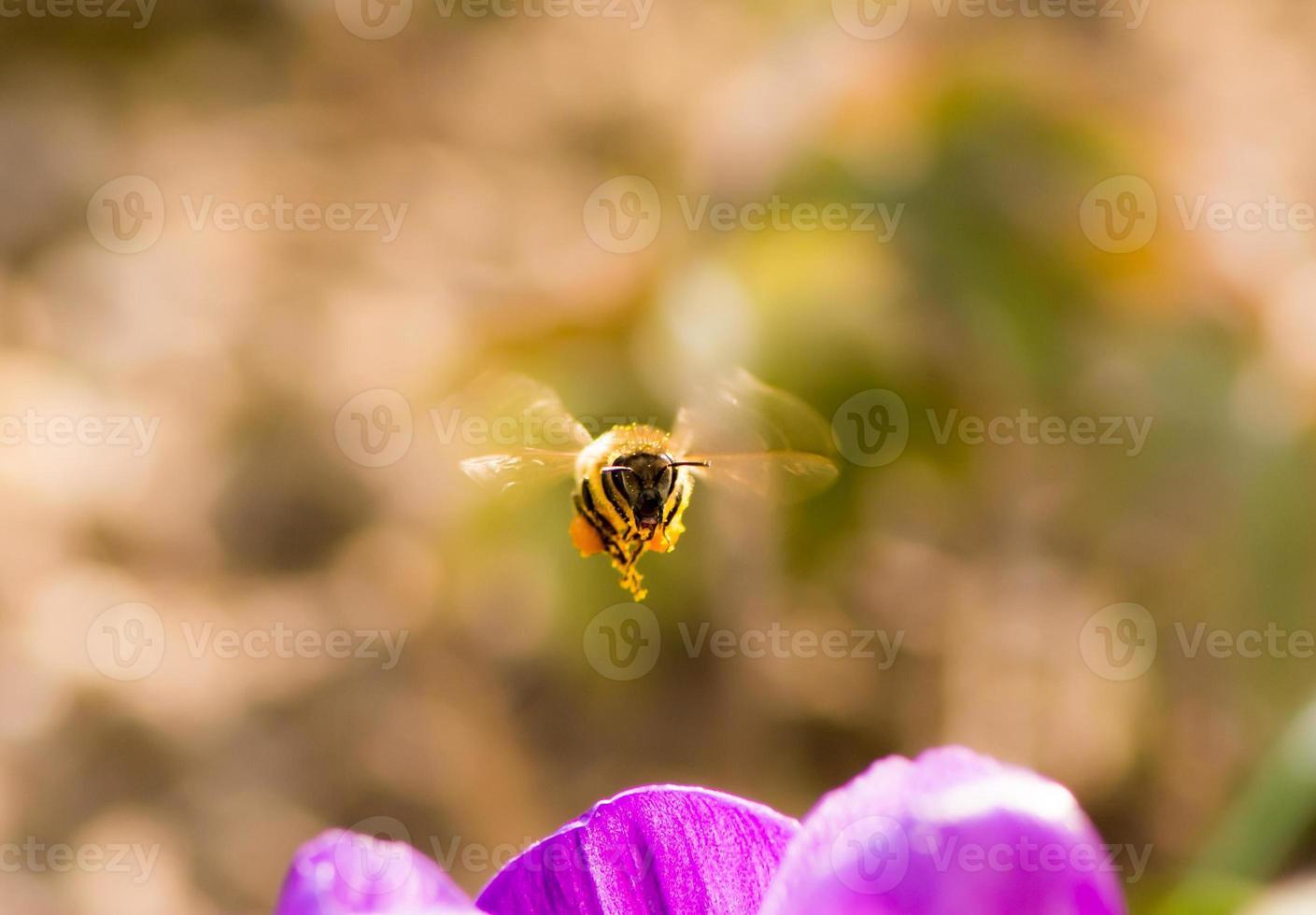 Biene fliegt zu einer lila Krokusblume foto