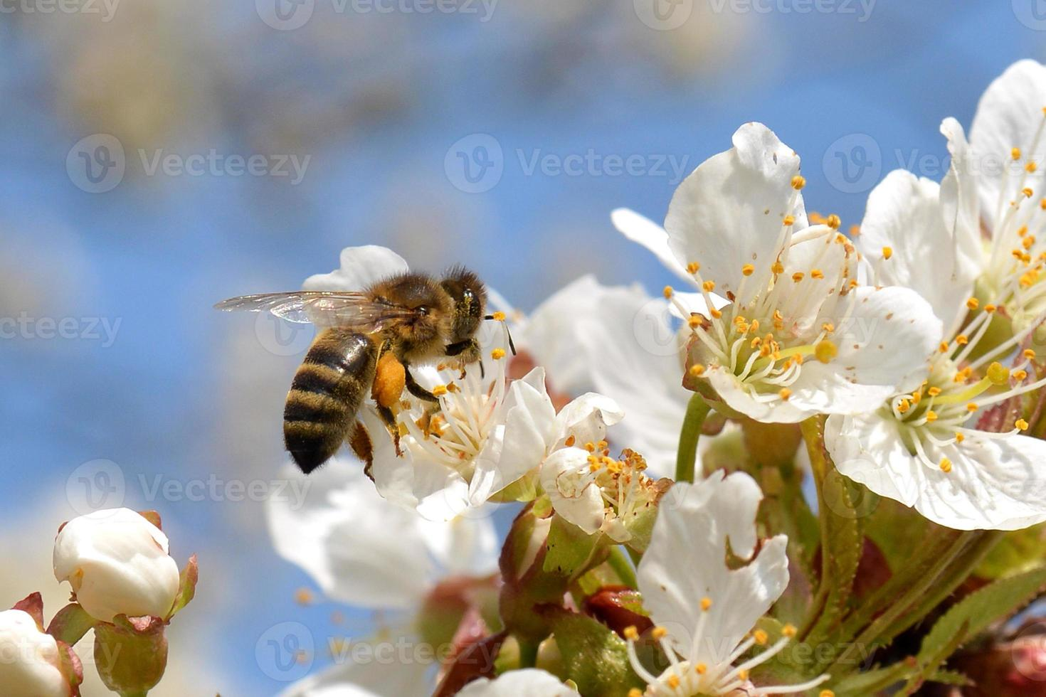 Honigbiene foto