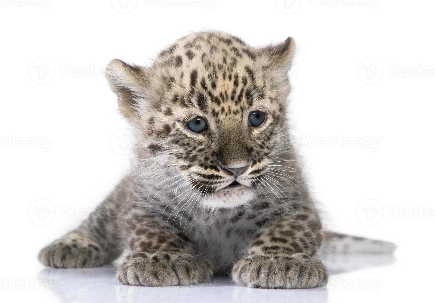 Persisches Leopardenjunges (6 Wochen) foto