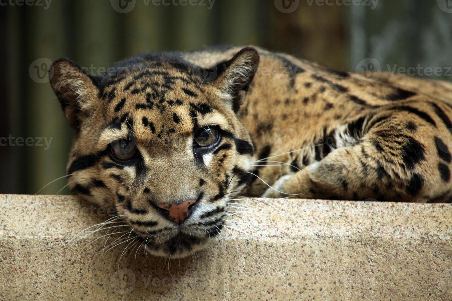 wolkiger Leopard (neofelis nebulosa). foto