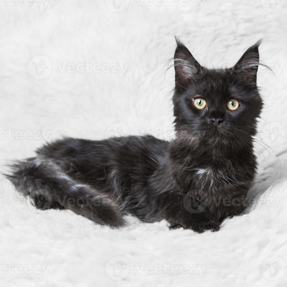 kleiner schwarzer Kätzchen Maine Coon, der auf weißem Hintergrund aufwirft foto