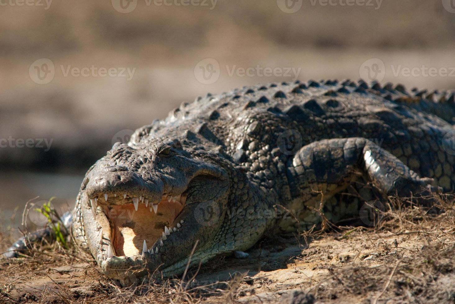 Krokodil entblößende Zähne schließen foto