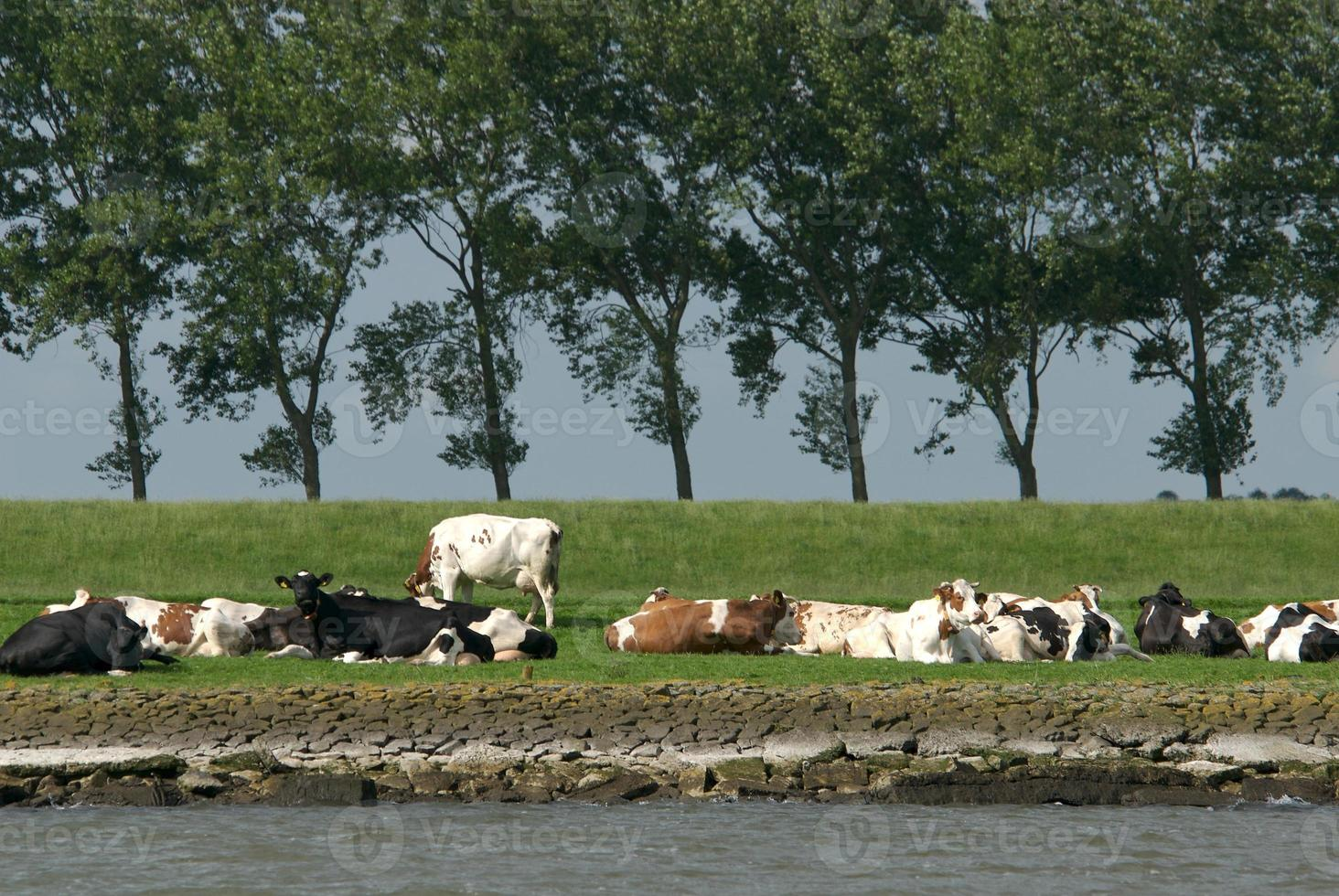 niederländische Kühe foto