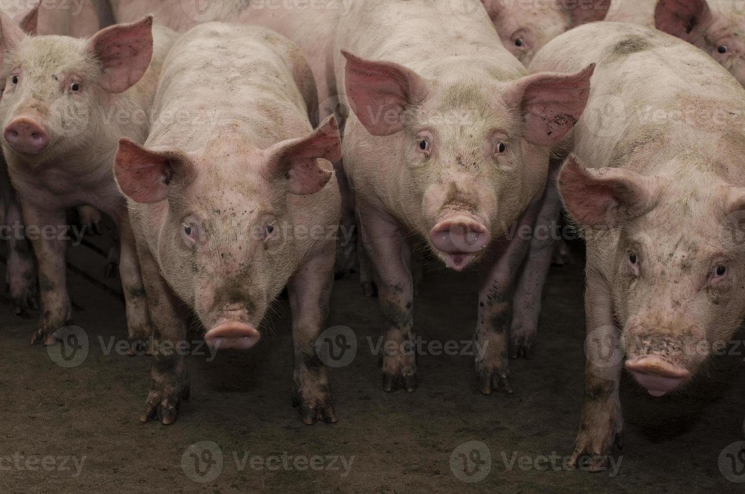 Schweine in einem Stift foto