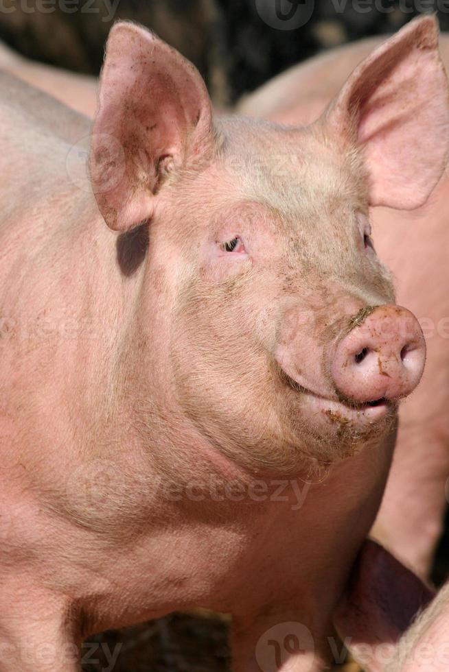glückliches Schwein foto