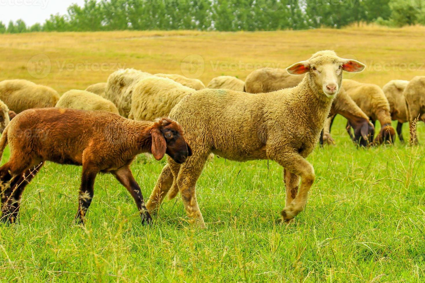 Schafherde auf einer Wiese foto
