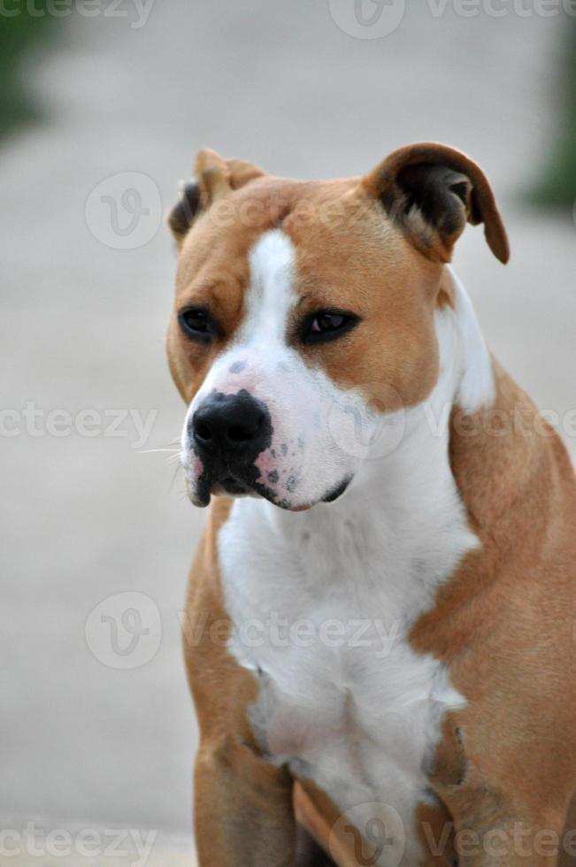 Amerikanischer Staffordshire Terrier foto
