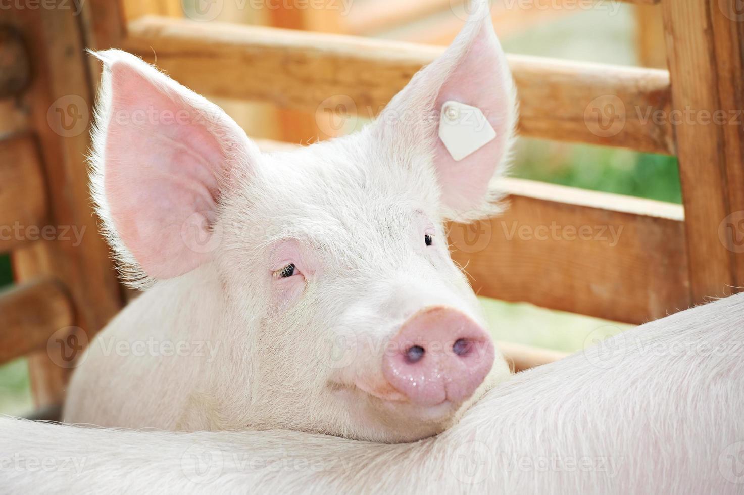 Ein junges Schwein legt seinen Kopf draußen in einen Stift foto