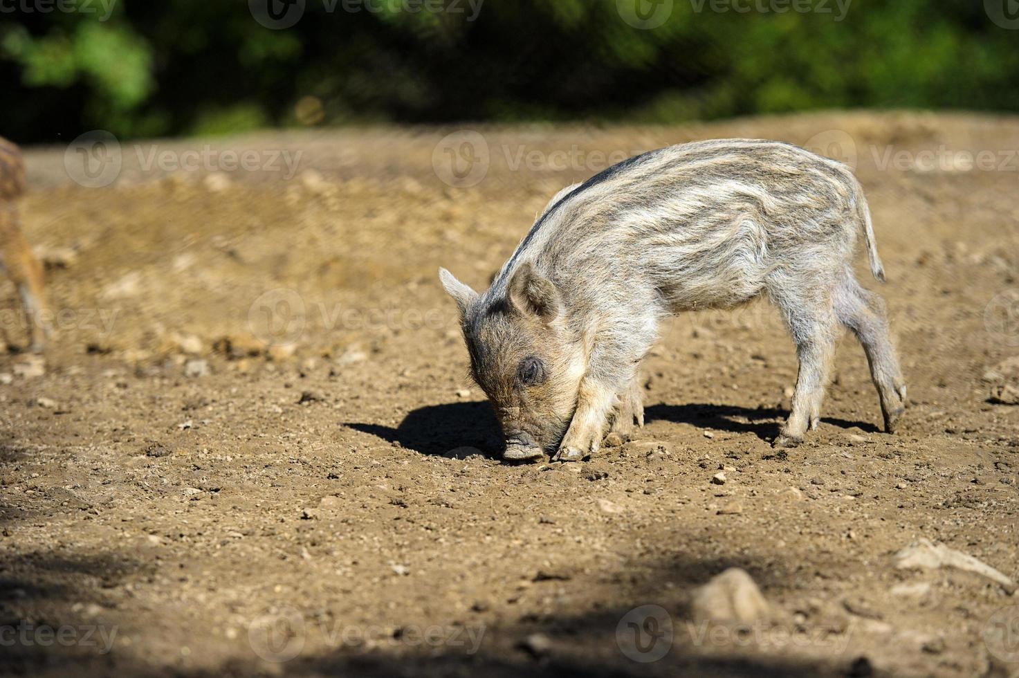 Wildschwein im Herbstwald foto