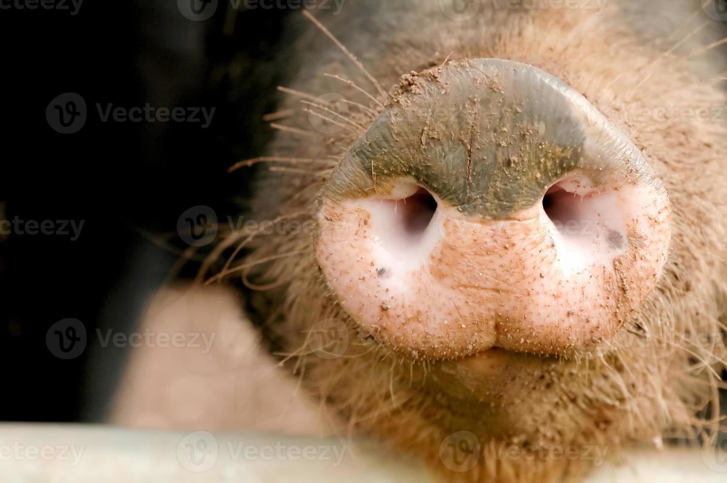 Schweineschnauze foto