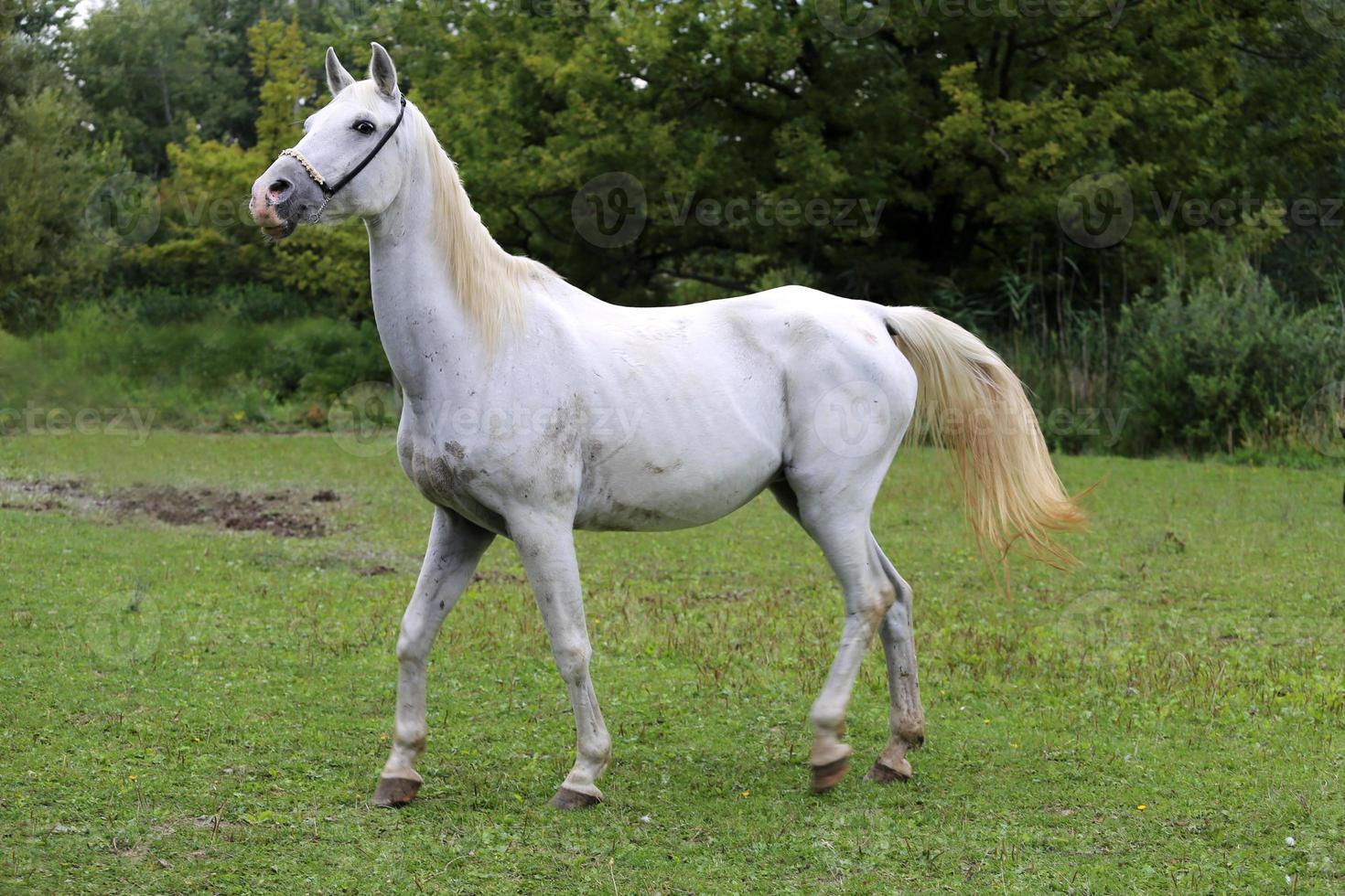schöne Ansicht eines arabischen Pferdes auf natürlichem Hintergrund foto