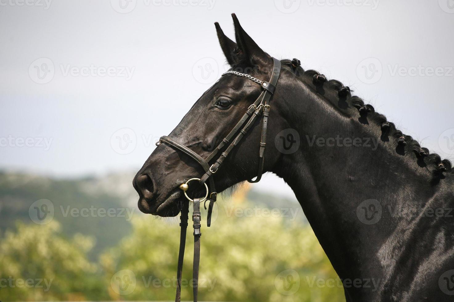 Kopfschuss eines reinrassigen schwarzen jungen Pferdes foto