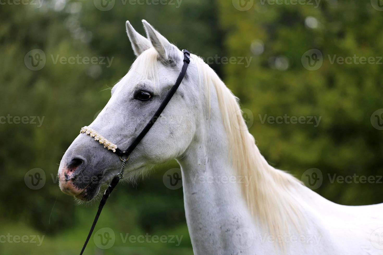 schöner reinrassiger Pferdekopf auf dem Bauernhof gegen natürlichen Rücken foto