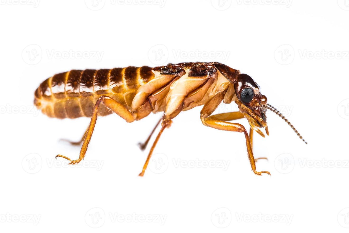Termite weiße Ameise isoliert foto