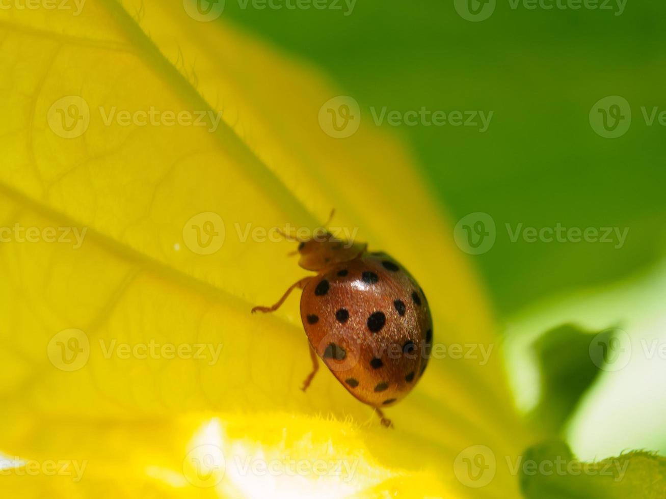 Marienkäfer auf Blume yeallow foto