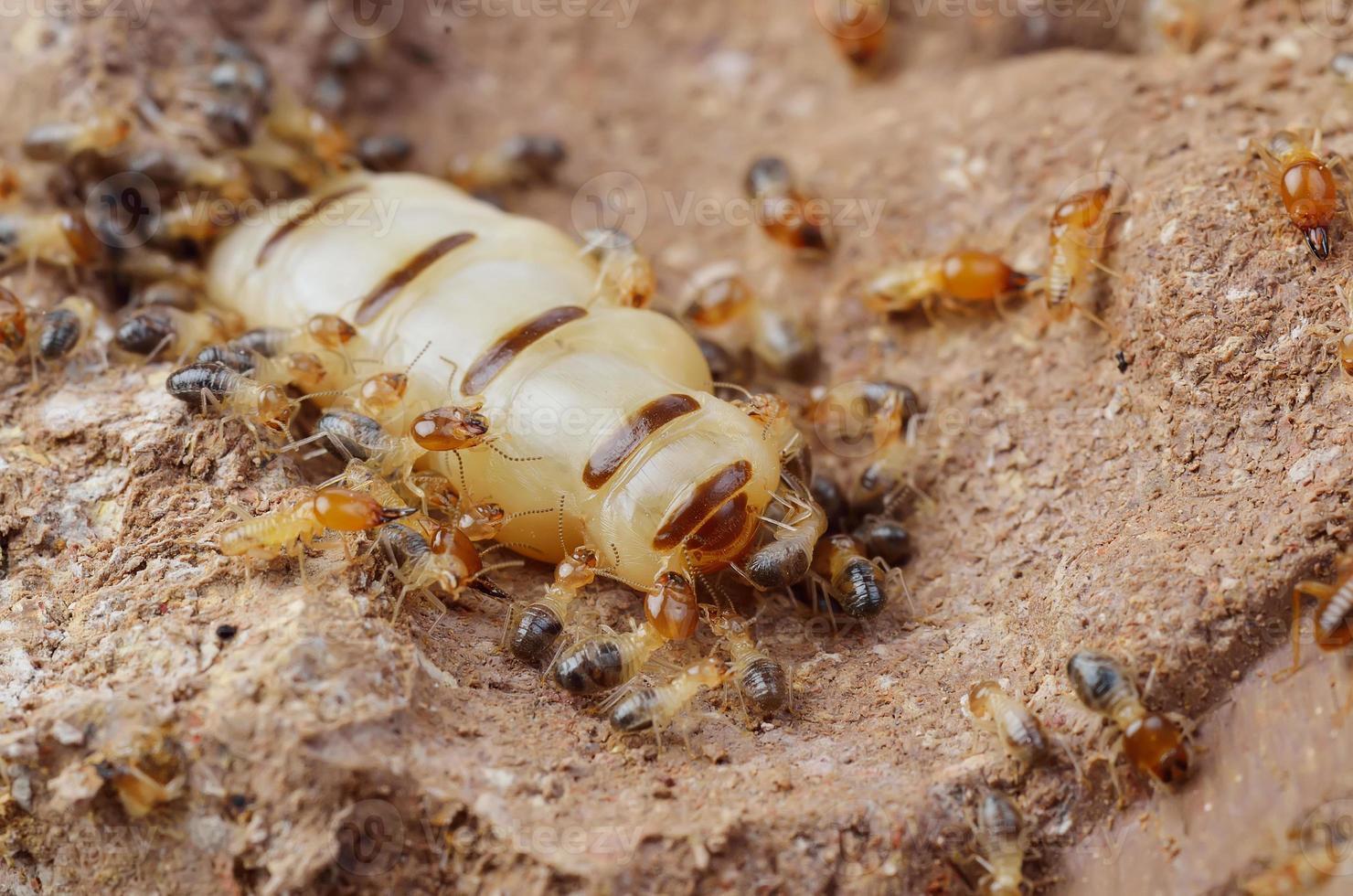 Schließen Sie Termiten oder weiße Ameisen, Thailand foto
