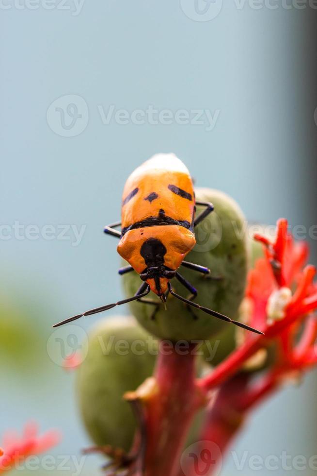 Juwelenwanzen (Familie scutelleridae) foto