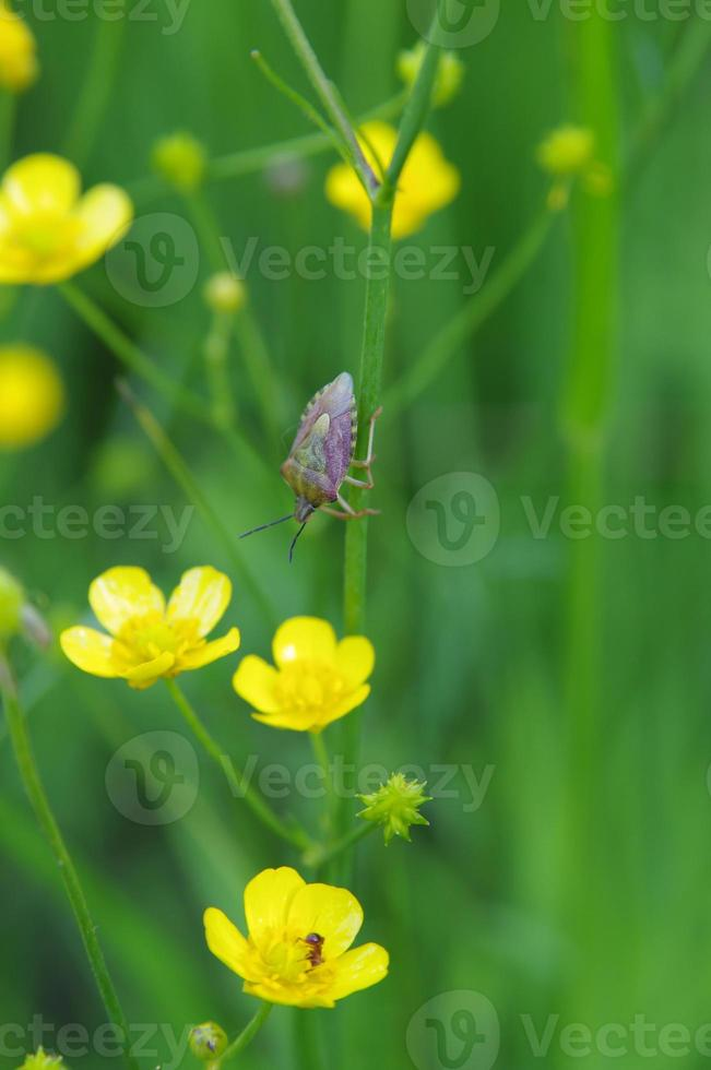 Weißdornschild Käfer auf einer Butterblume foto