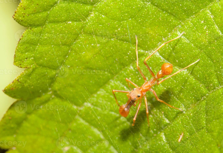 Kerengga Ameisen-ähnliche Springerspinne in der Natur foto
