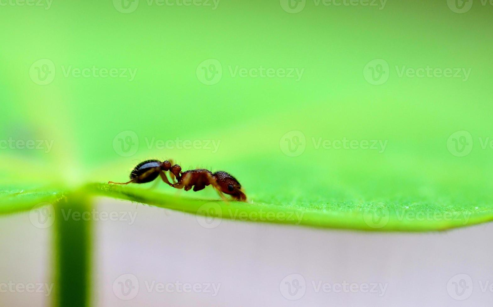 Ameise auf einem Blatt foto