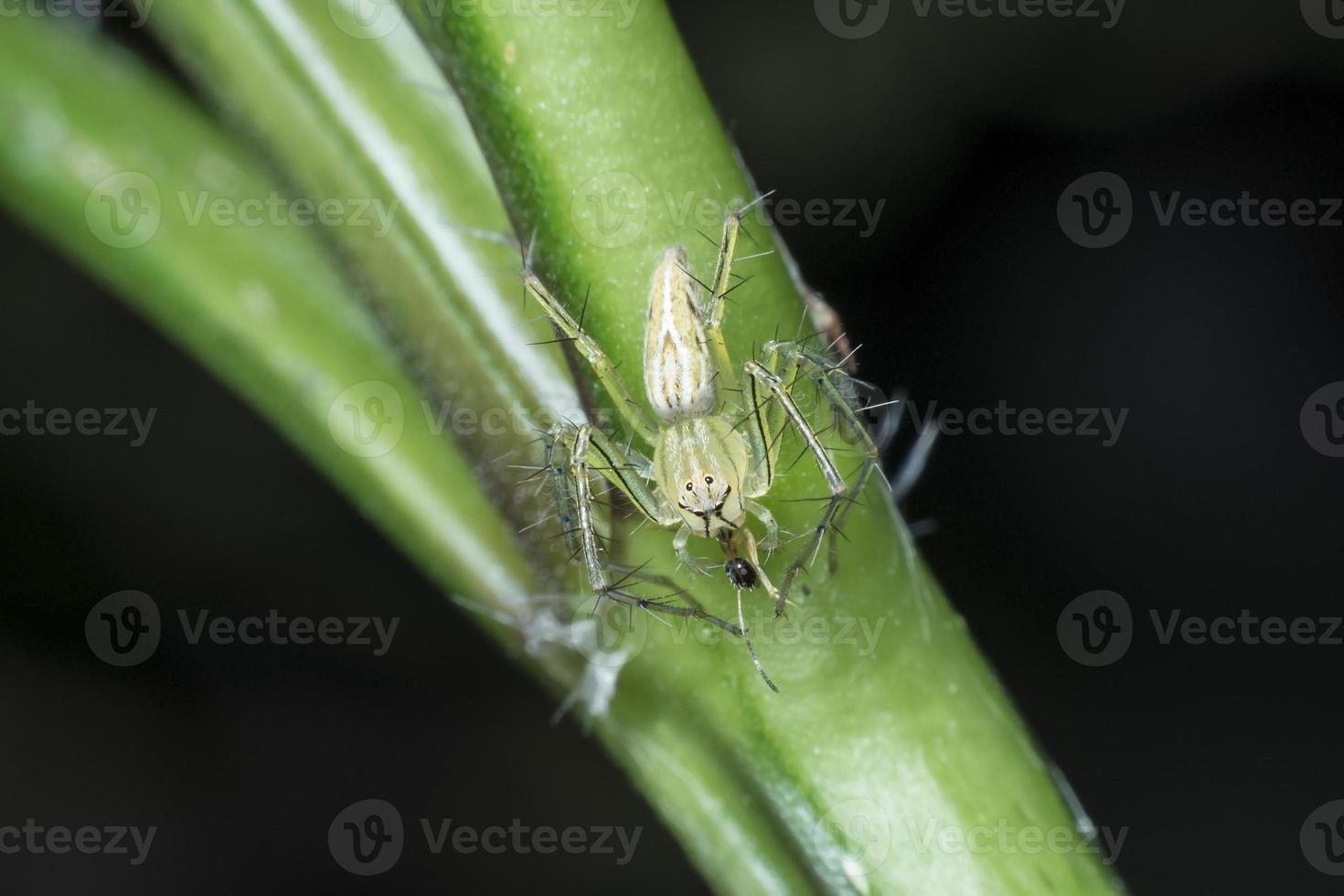 Ameisen sind Opfer einer Spinne foto