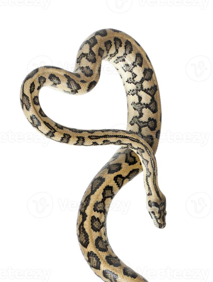 Python, Morelia Spilota Variegata, Nahaufnahme vor weißem Hintergrund foto
