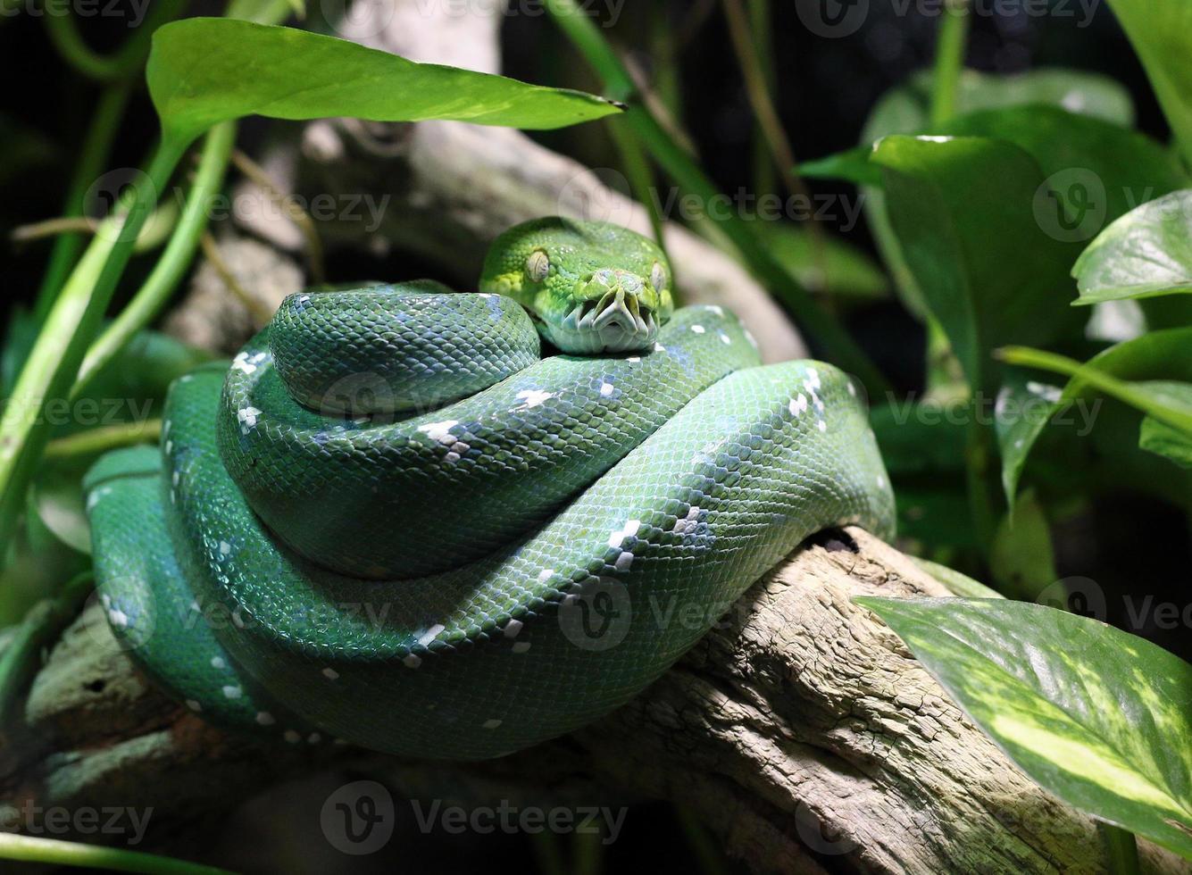 grüne Schlange auf Zweig im Dschungel foto
