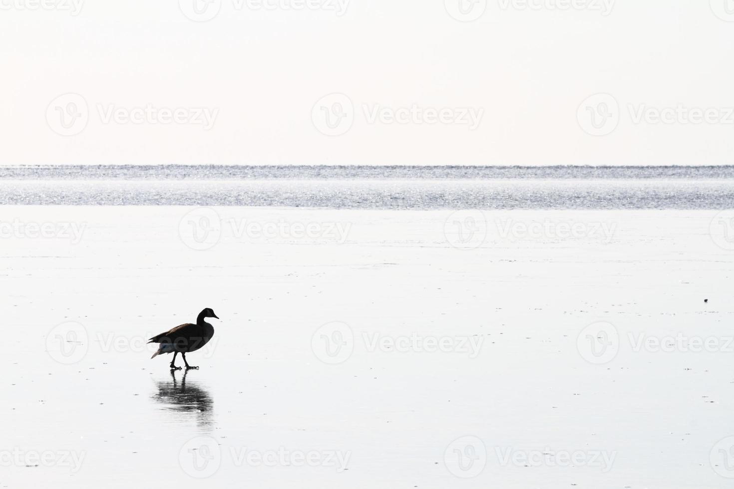 Kanadische Gans auf zugefrorenem See foto