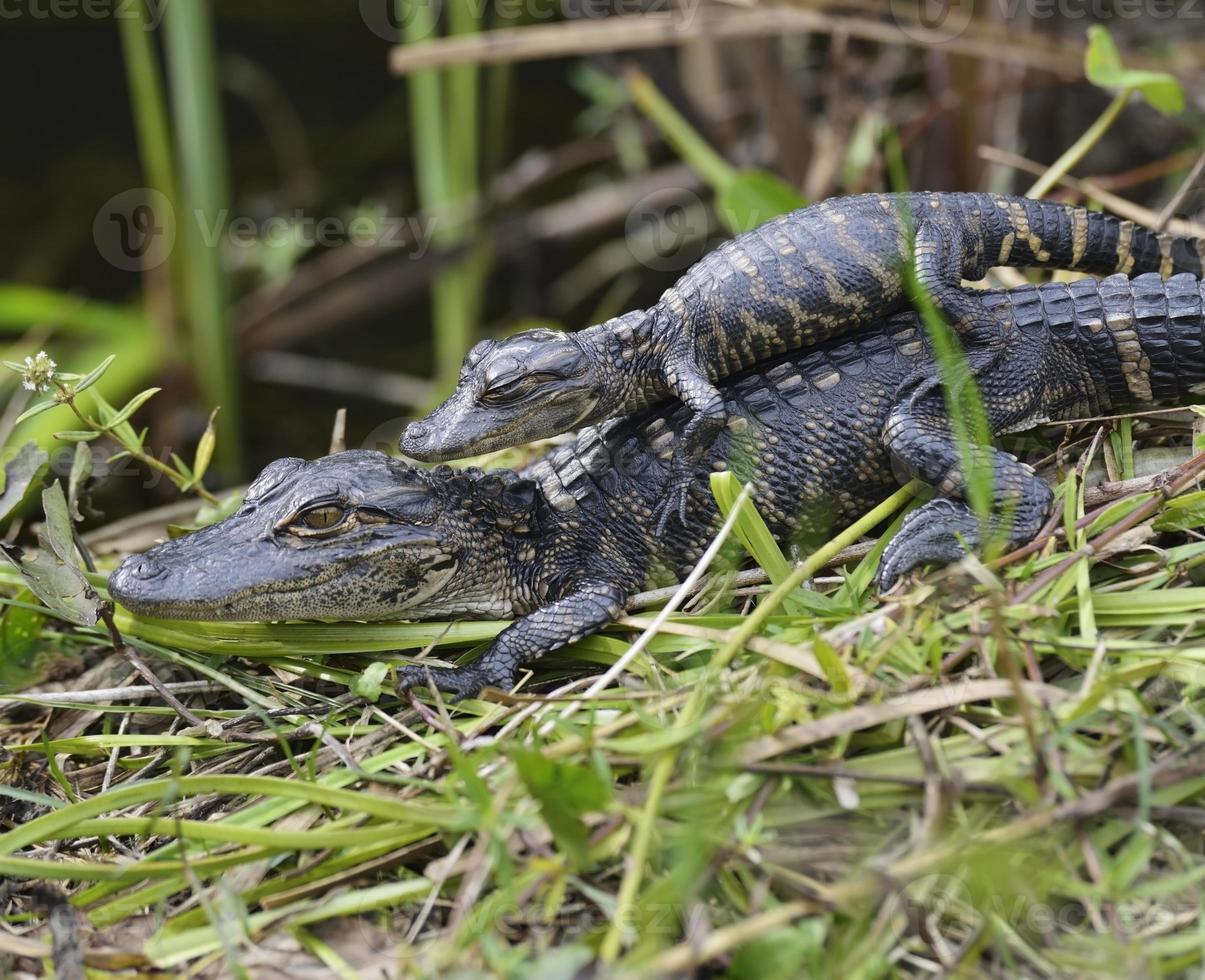 Baby Alligatoren foto
