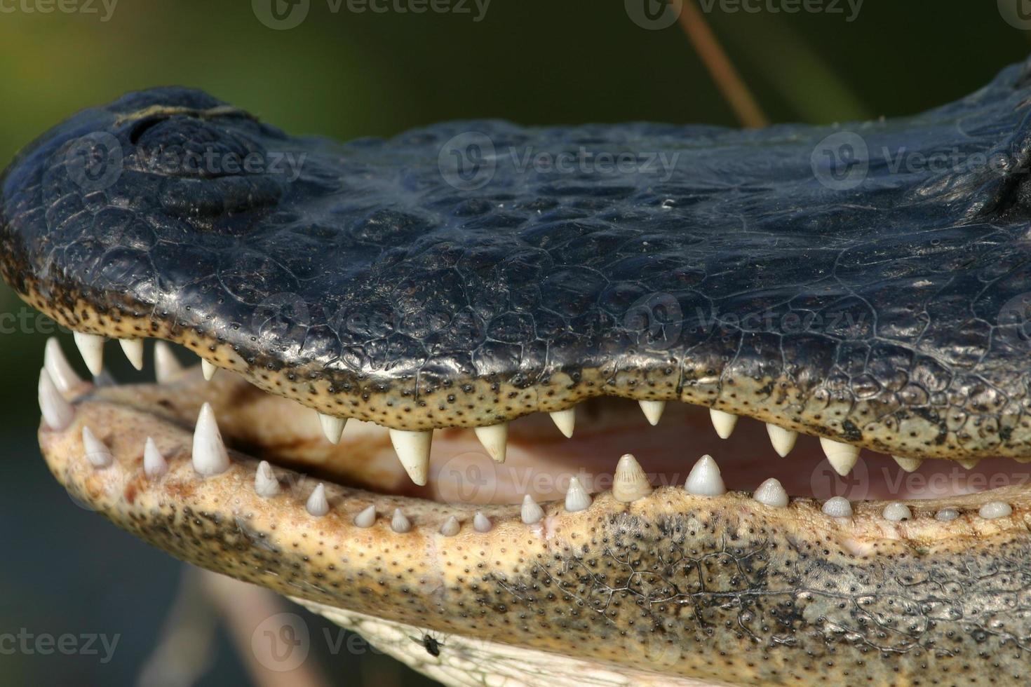 Alligator Mund foto