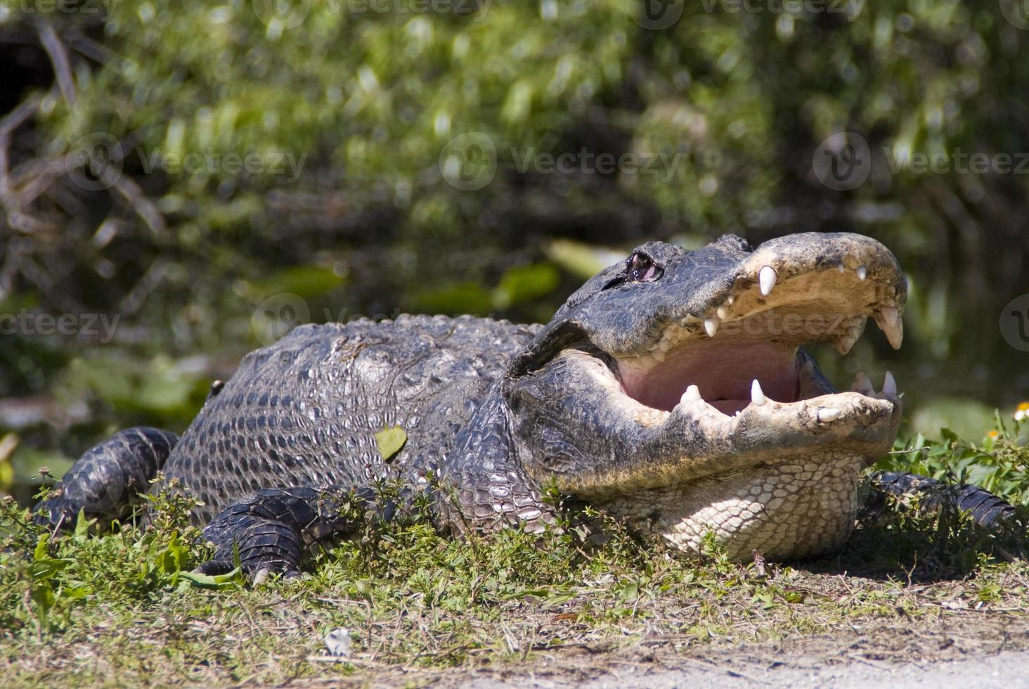 großer Alligator im niedrigen Winkel foto
