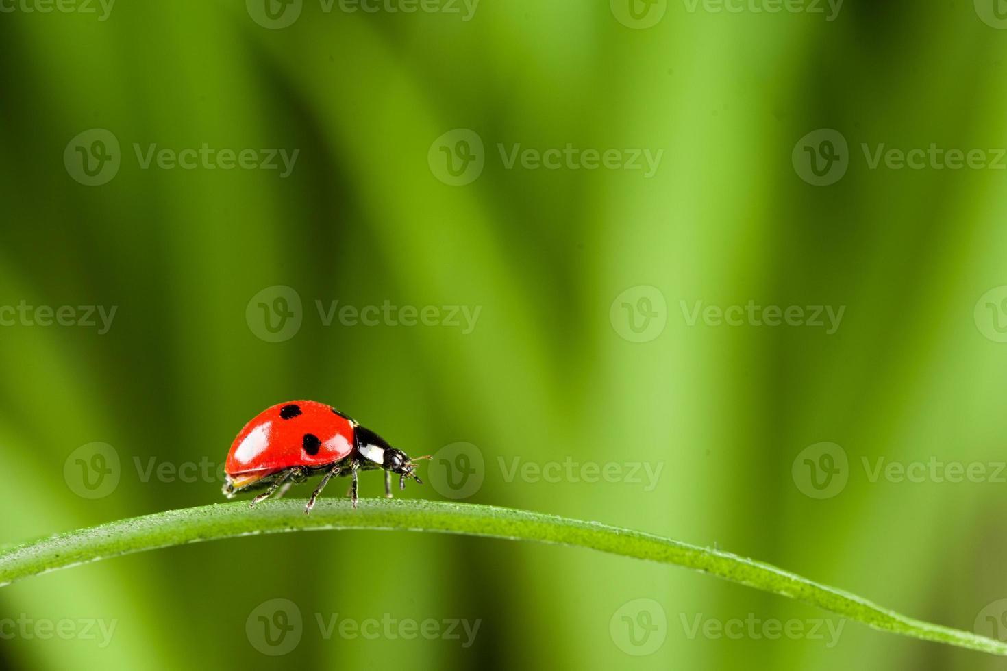 Marienkäfer auf Gras über grünem Bachground foto