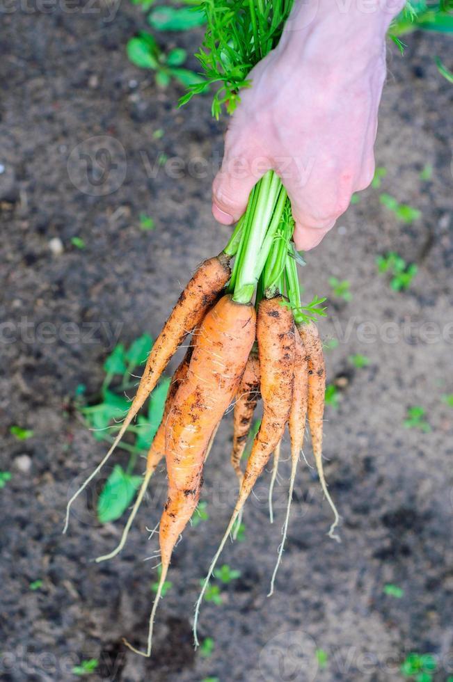 Bündel frische, nicht gewaschene Karotten auf dem Boden foto