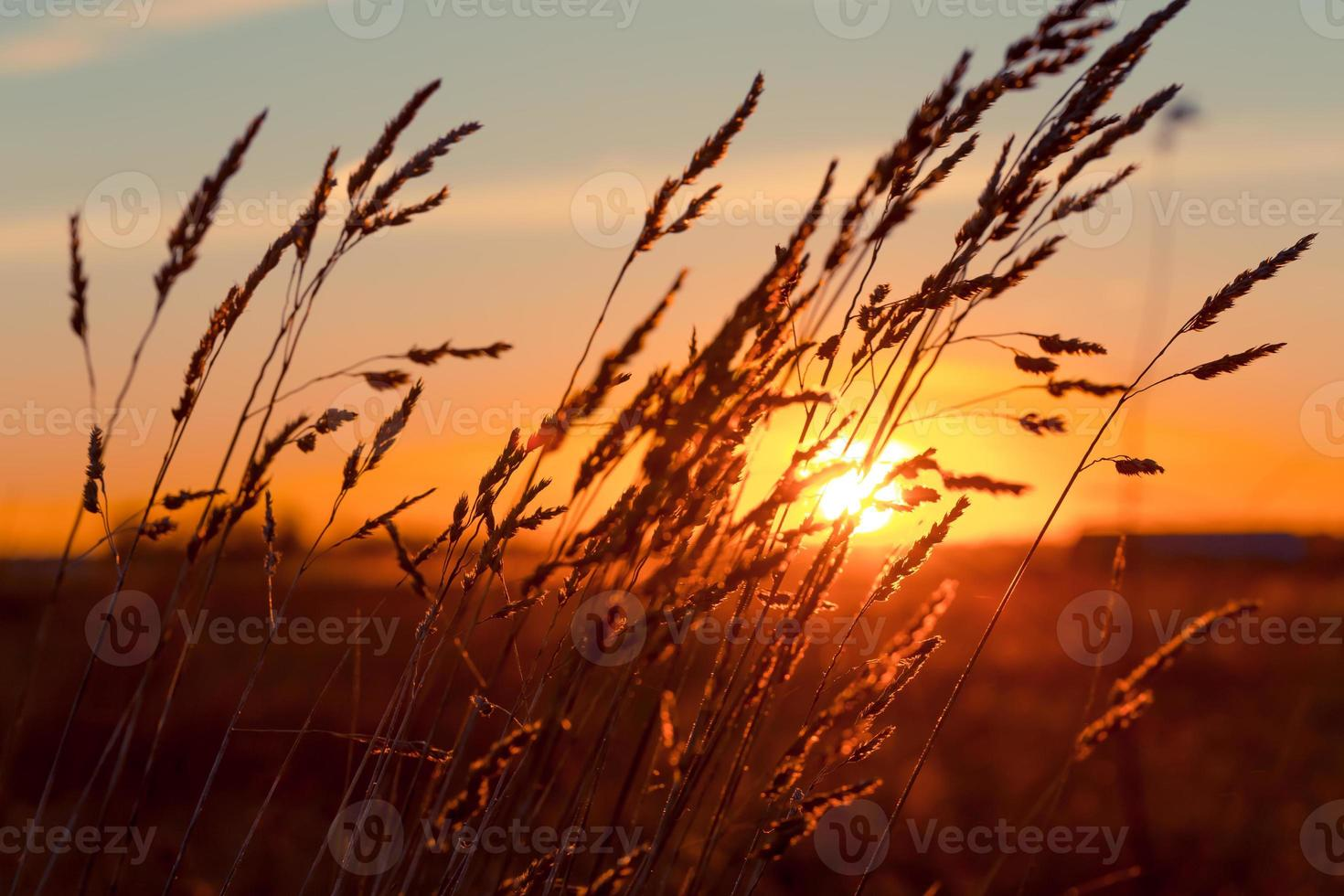 Gras bei Sonnenuntergang foto