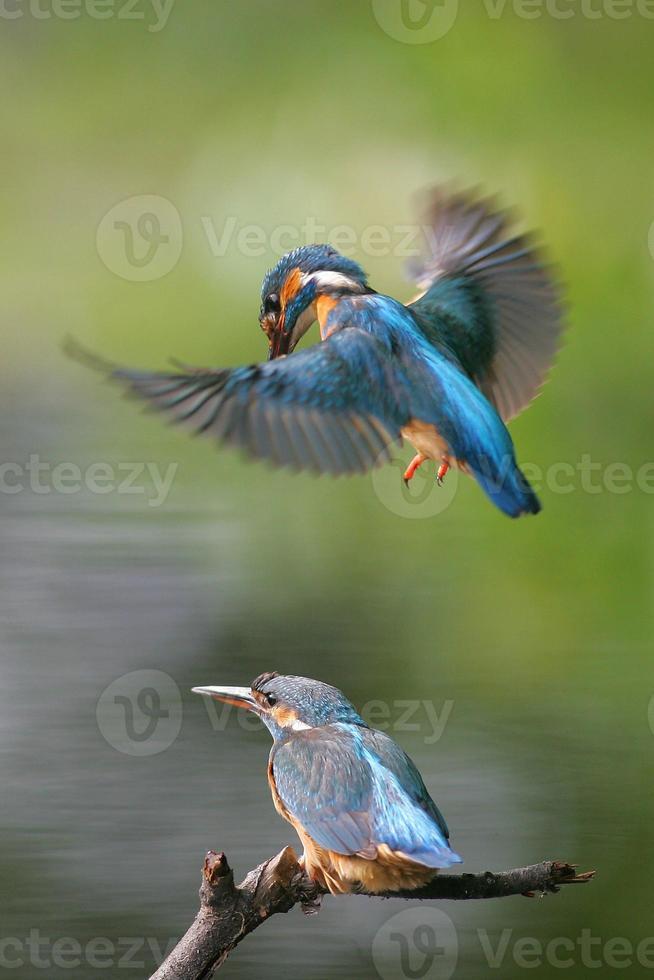 Eisvogel foto