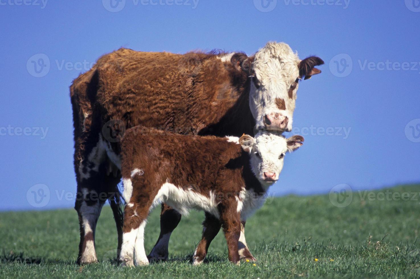eine rot-weiße Hereford-Kuh und ihr Kalb foto