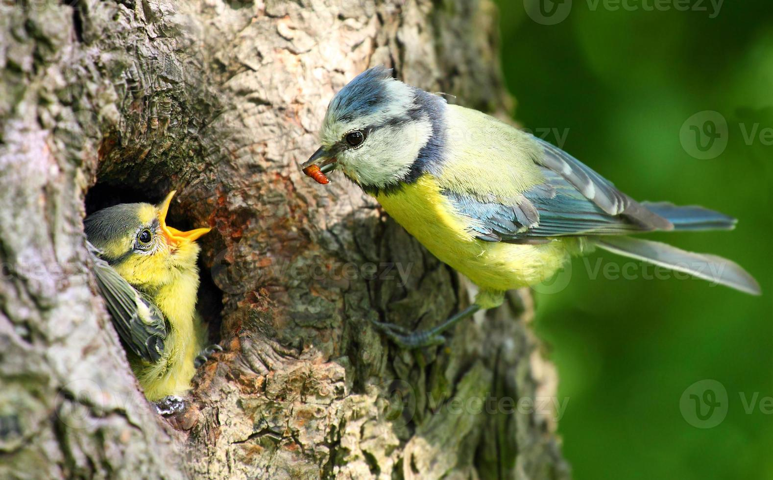 die Blaumeise (cyanistes caeruleus). foto