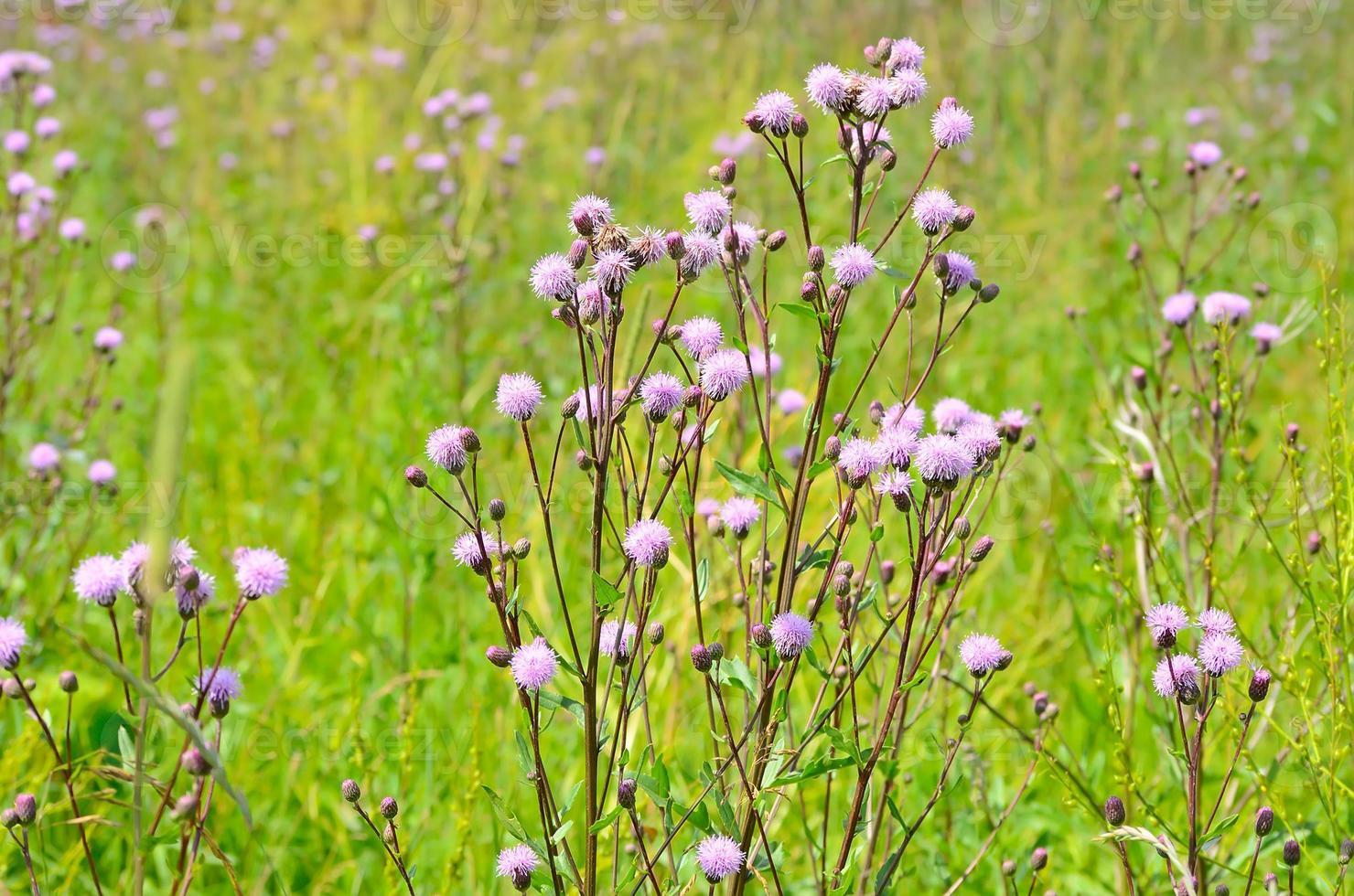Cirsium Arvense Blumen foto