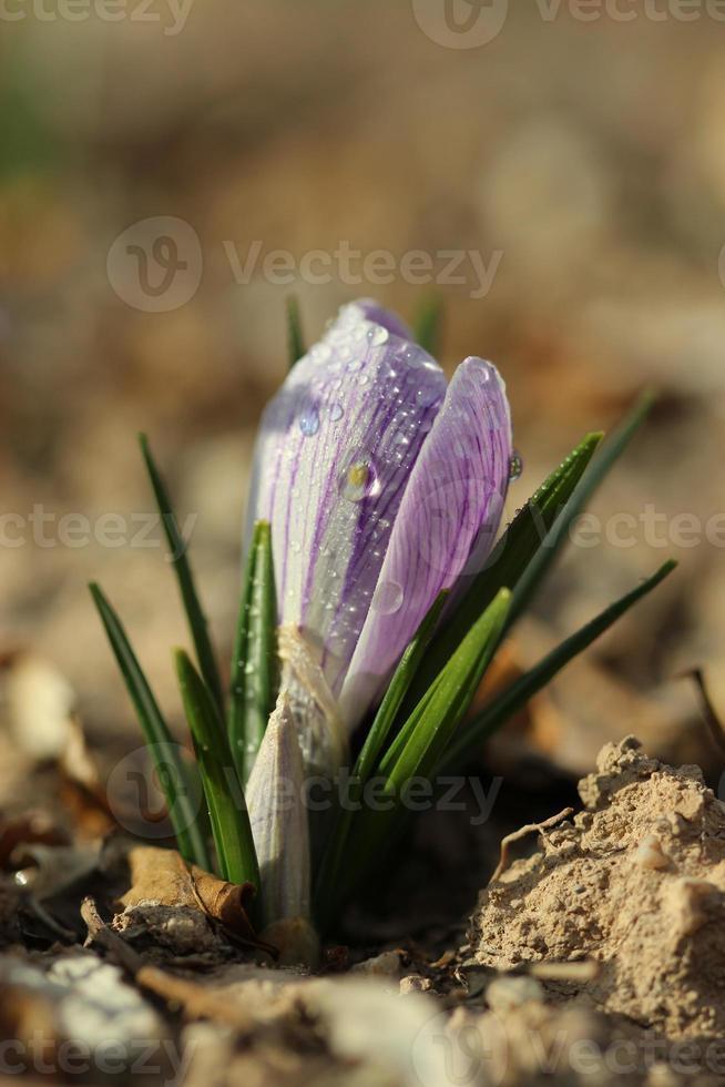 lilane Blumen foto