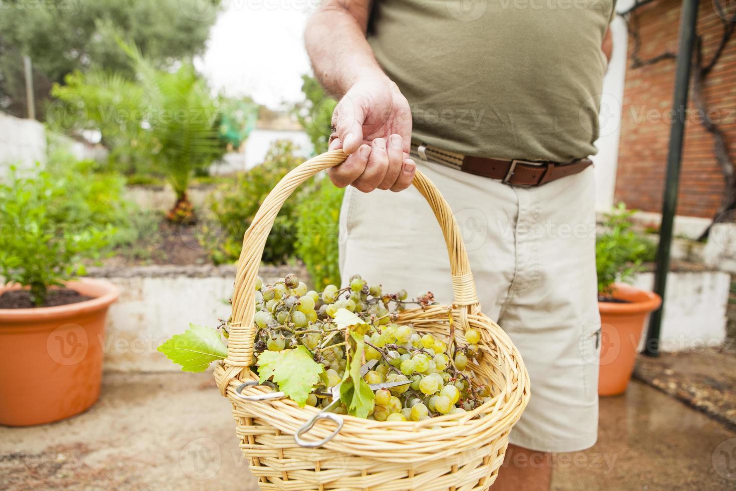 Nahaufnahme des Traubenkorbs, gehalten von der Hand des älteren Mannes. foto