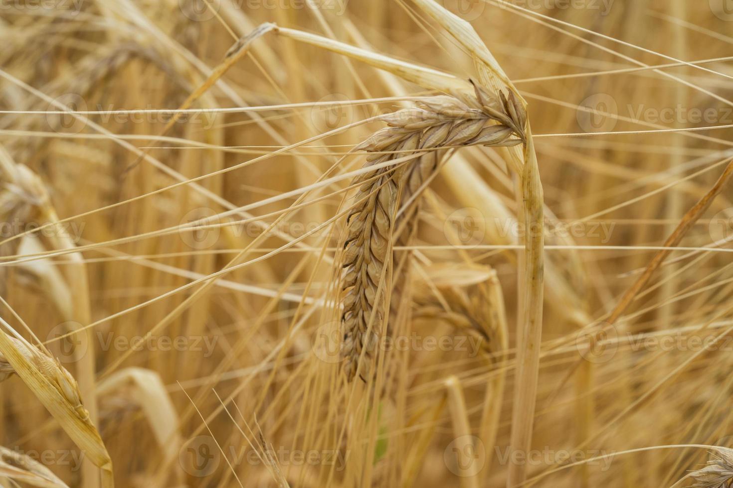 Getreidepflanze foto