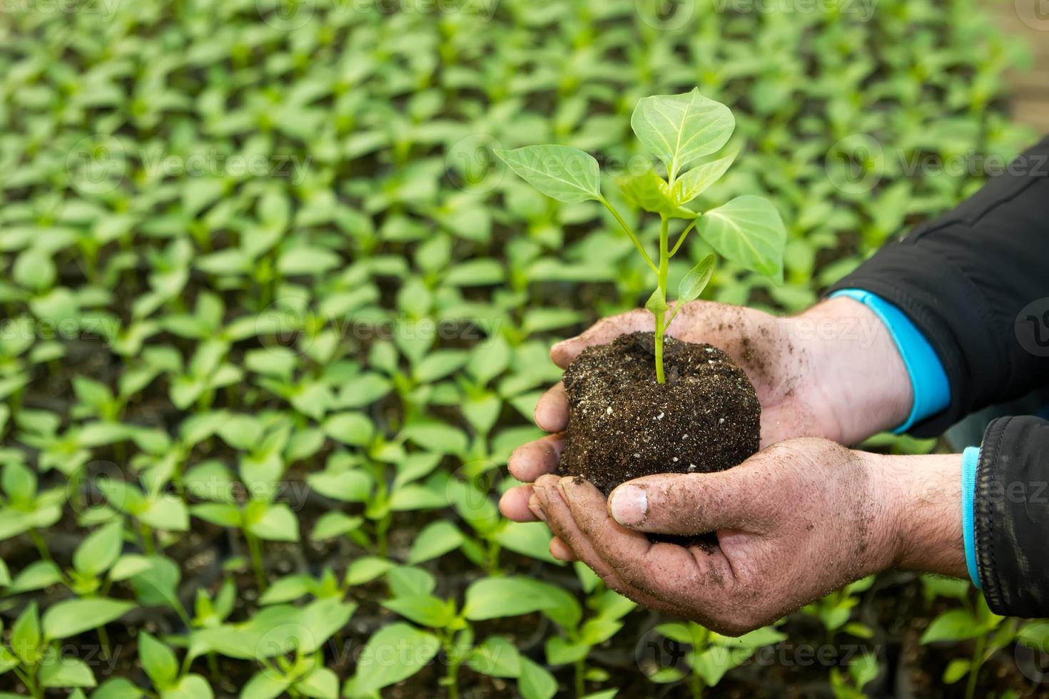 Mannhände, die eine grüne junge Peper-Pflanze im Gewächshaus halten. foto