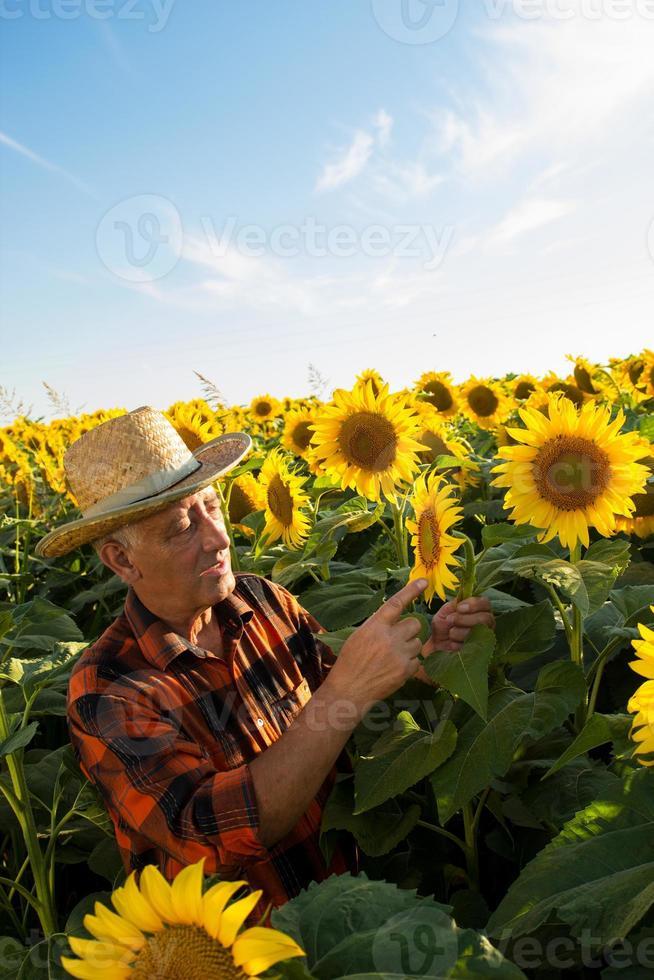 älterer Landwirt in einem Feld, das Ernte untersucht foto