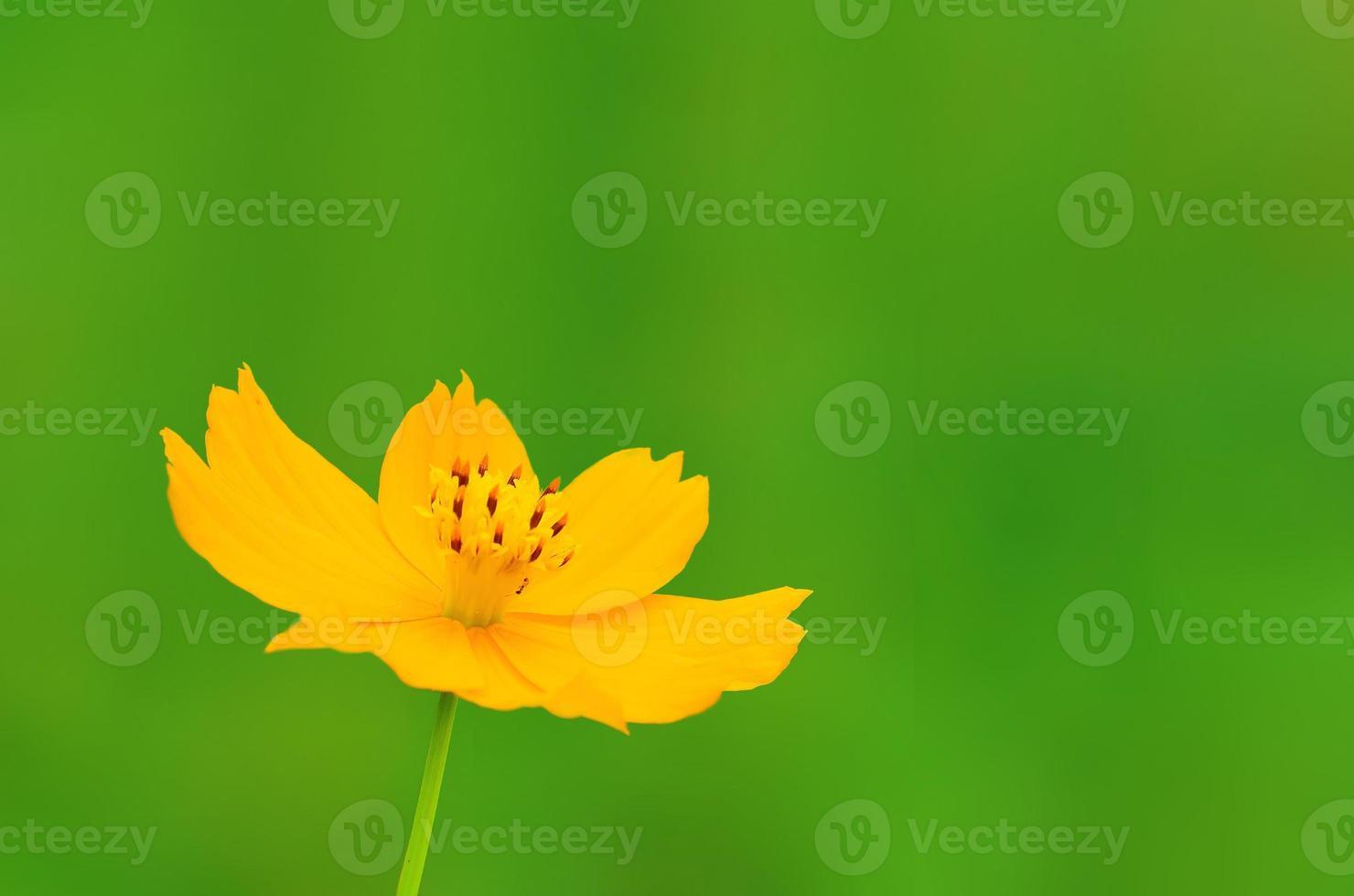 Schwefelkosmos oder gelber Kosmos, gelbe Blume auf weißem Hintergrund foto
