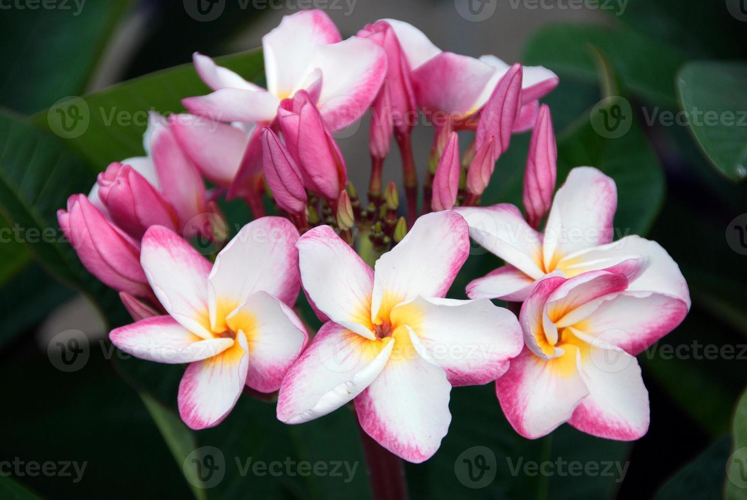 tropische Spa-Blume Frangipani, rosa Plumeria foto