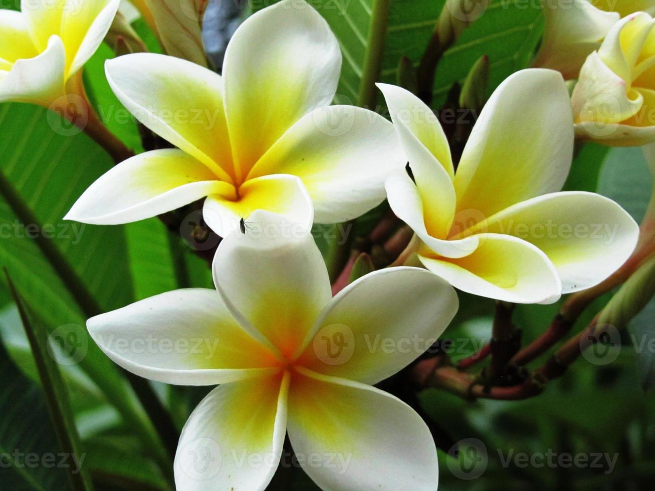 "Frangipani, Frangipani-Baum in Kenia, ""Bali-Blume"", Plumeria foto"