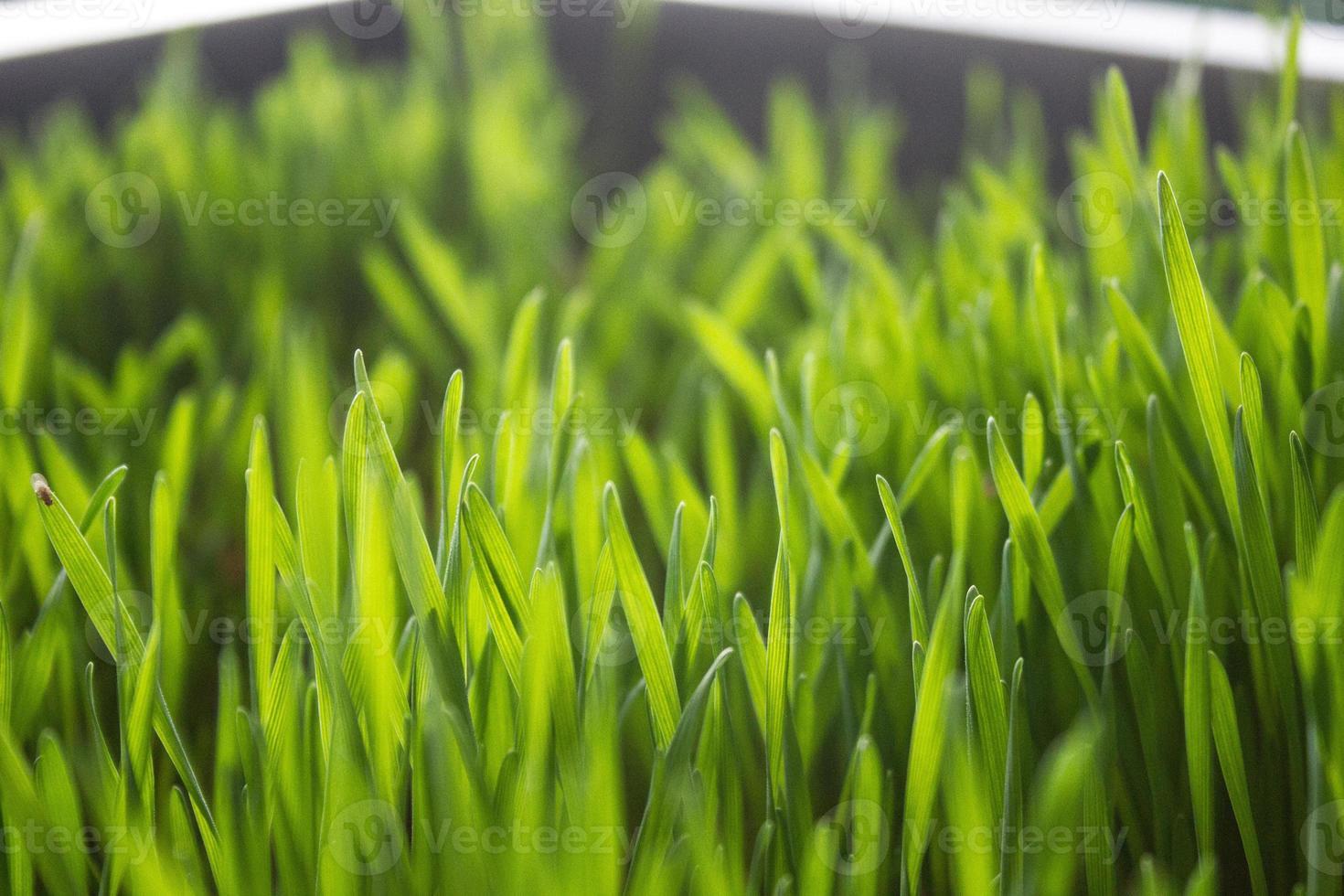 Weizengrass foto